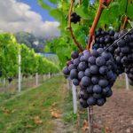 Những điều quan trọng cần biết về rượu vang