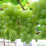 Khái niệm cơ bản về rượu vang trắng và rượu vang đỏ nho xanh